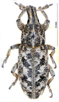 Cyphocleonus