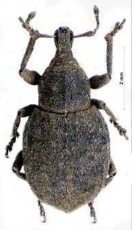 Tropiphorus