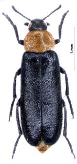 Phryganophilus