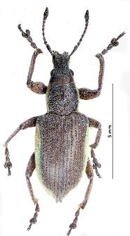 Chlorophanus viridis (Linnaeus, 1758)