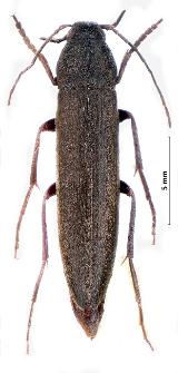 Serropalpus