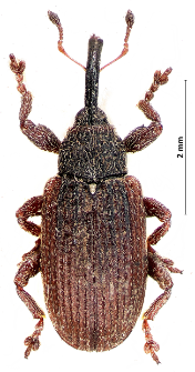 Bradybatus