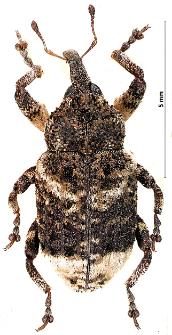 Cryptorhynchus