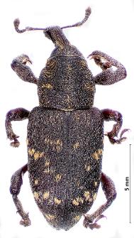 Hylobius