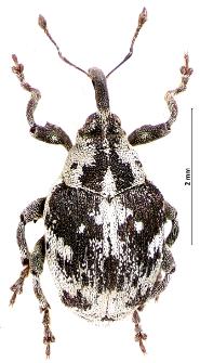 Hadroplontus