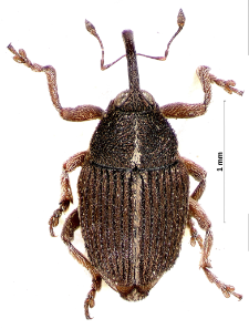 Oprohinus