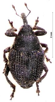 Zacladus