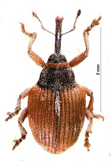 Coeliodinus