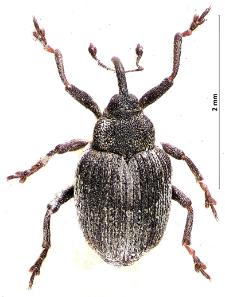 Amalorrhynchus