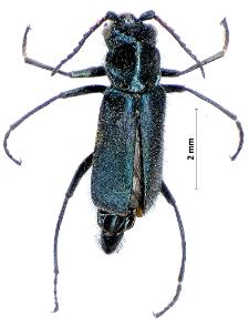 Cordylepherus