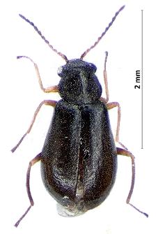 Hypebaeus