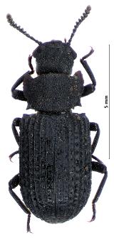 Bolitophagus