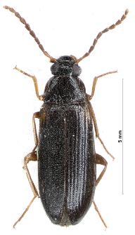 Mycetochara