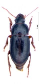 Harpalus laevipes (Zetterstedt, 1828)