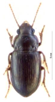 Amara majuscula (Chaudoir, 1850b)