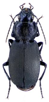Licinus